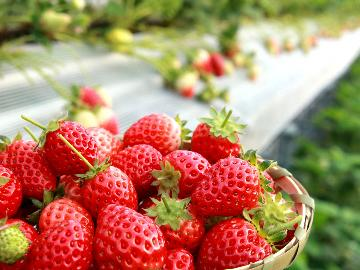 【期間限定】いちごの生産量日本一☆栃木の美味しいいちご狩りに出かけよう♪