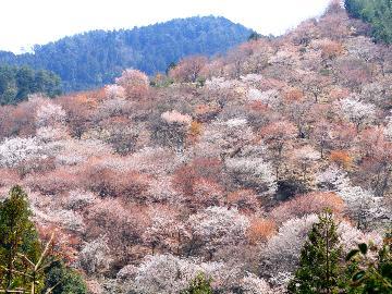 【3/27~4/18限定】絶景☆吉野の桜を満喫♪春のさくら会席プラン