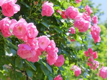 【東沢バラ公園】バラまつり♪甘い香りに包まれながらバラを愛でよう♪[1泊2食]
