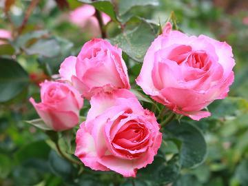<花巻温泉バラ園>香り高いバラに包まれる贅沢な時間を―…「岩手県産ブランド豚がメインの和食膳プラン」