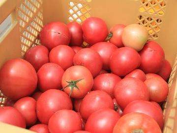 【収穫体験】とみもと農園で《トマト狩り 体験》収穫したトマト&トマトジュースの嬉しいお土産付♪