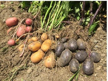 【畑お手伝い体験】とれたて野菜や果物のプレゼントつき♪気軽に楽しむ農業体験