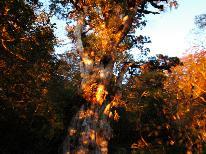 HP限定特別価格★黄金色に輝く縄文杉を拝む1泊ツアー★パワーをもらいに行こう!※ガイド料別途必要