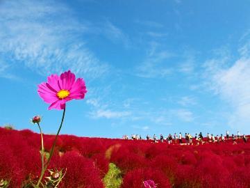 【期間限定】~真っ赤に染まるみはらしの丘~可愛らしい秋のまんまるコキアを楽しもう!《2食付》