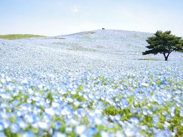 【期間限定】~幻想的な青い絨毯 みはらしの丘~空と海とネモフィラが溶け合う風景を楽しもう♪【特典付】